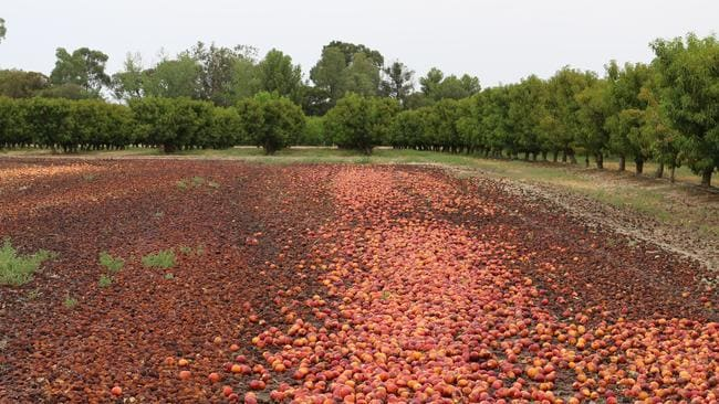 Second grade fruit gets dumped on the Butler farm, because it can't be sold locally. Picture: Kelly Barlow