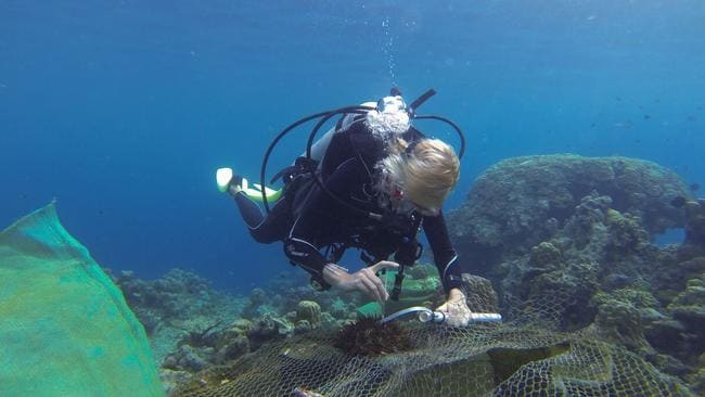 Researcher Lisa Bostrom-Einarsson injects vinegar into crown-of-thorns starfish in the Great Barrier Reef. Picture: AAP / James Cook University