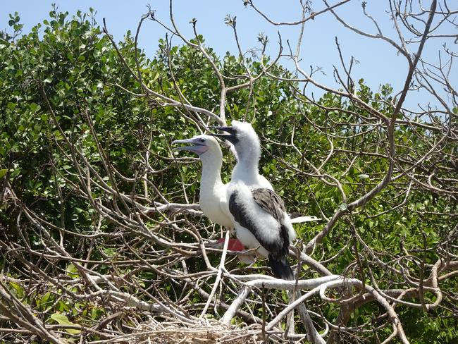 The rare red-footed booby, spotted at Half Moon Caye. Picture: Gary Burchett