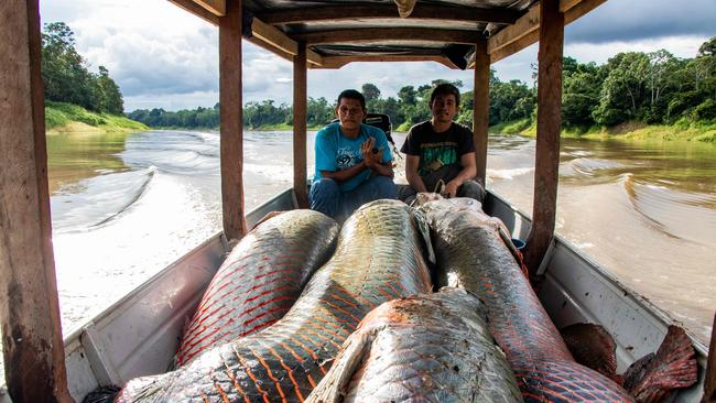 We caught a fish this big. Picture: HO / Mamiraua Institute of Sustainable Development & AFP.