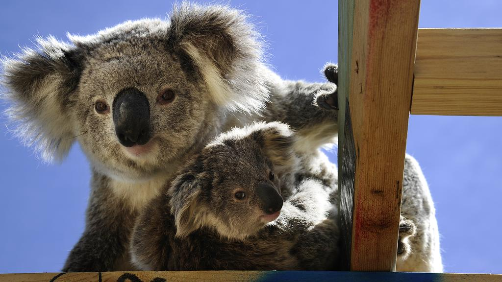 A koala and her baby wandered onto a construction site in St Helens Park.