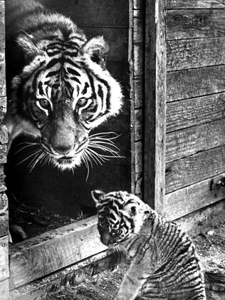 Tiger and cub at the Bacchus Marsh Lion Safari. 1980. Picture: supplied