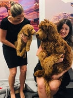 . This Eddie, the Australian cobberdog. He spends half his time at his home on Wattle St, Fullarton and the other half as an office dog at Travel Associates Norwood Place. Picture: Krystal Savage