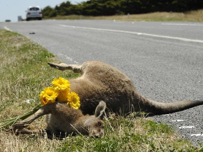 Road Kill ... Hitting a kangaroo in a vehicle cannot only be deadly for the animal.