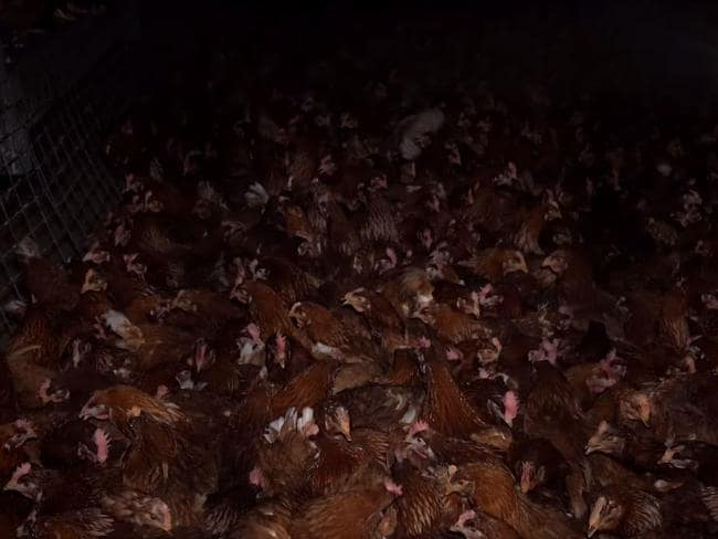 This is the 'cage-free' system at Bridgewater Poultry. Picture: Animal Liberation/Facebook