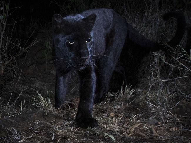 The panther was captured using hi-tech camera equipment. Picture: Will Burrad-Lucas/Caters News