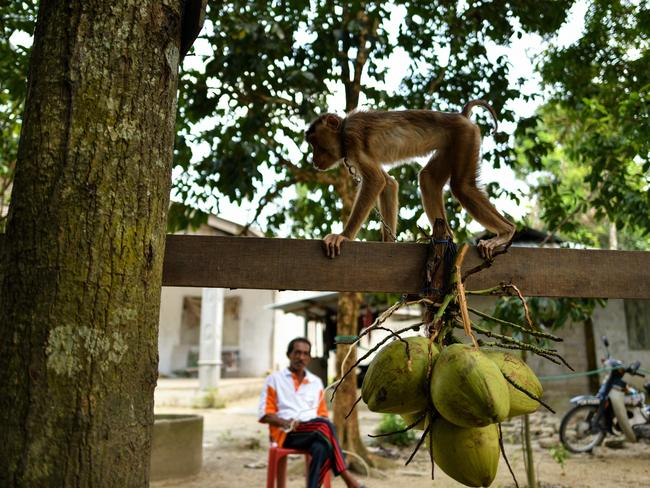 A pig-tailed macaque learning to pick coconuts as trainer Wan Ibrahim Wan Mat looks on. Picture: Manan Vatsyayana