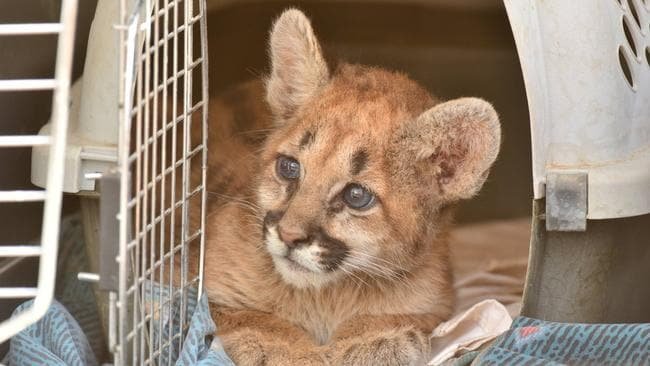 An orphaned mountain lion cub rescued in November 2017. Picture: Facebook/Arizona Game and Fish Department/Brian Aragon