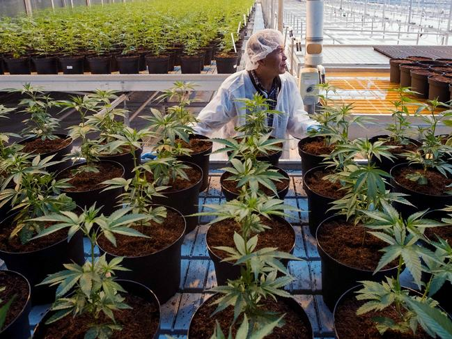 Cannabis is being grown to aid the supply to retailers. Picture: Lars Hagber /AFP
