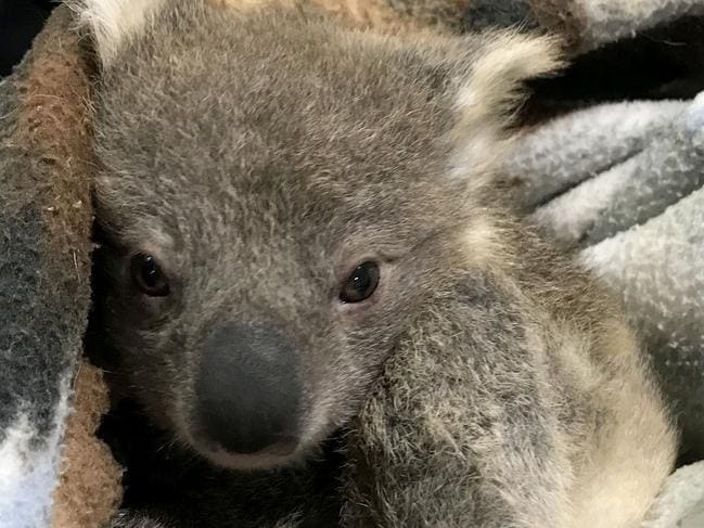 Kerry and her husband wrapped the joey in a blanket before giving him to a koala carer. Picture: Kerry McKinnon/Caters News