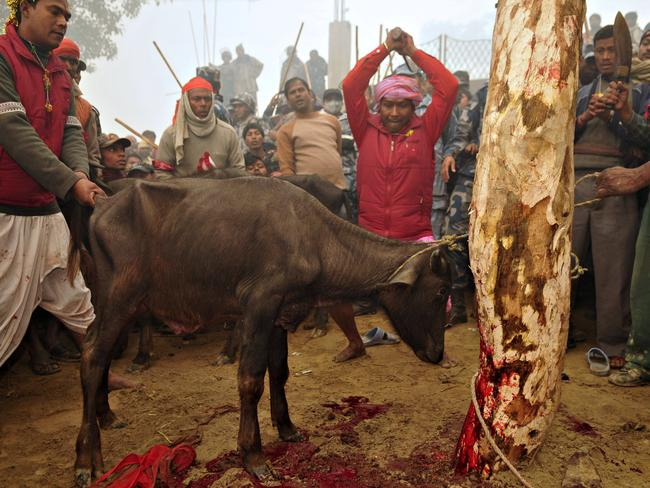 Fate sealed ... A Nepalese Hindu devotee lines up to slaughter a buffalo.