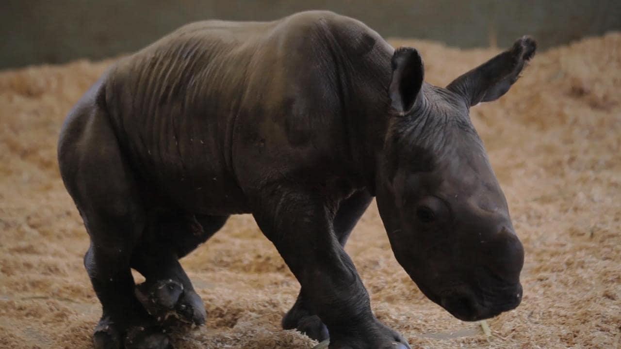Australia zoo welcomes baby rhino