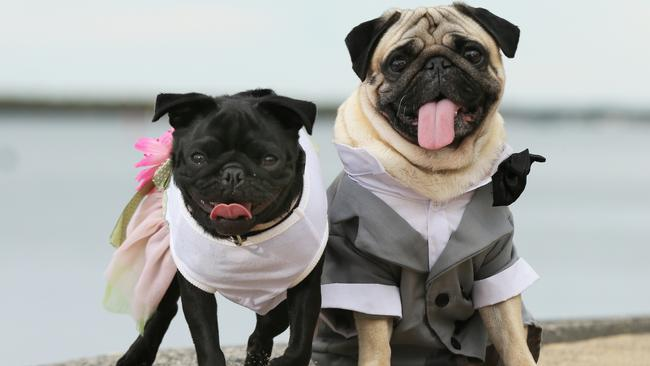 Pug puppies for sale: Vets want you to choose a different