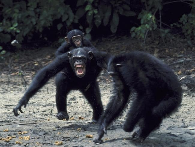 A female chimpanzee with baby becomes aggressive towards male interloper in Liberia. Picture: Dr Clive Bromhall.