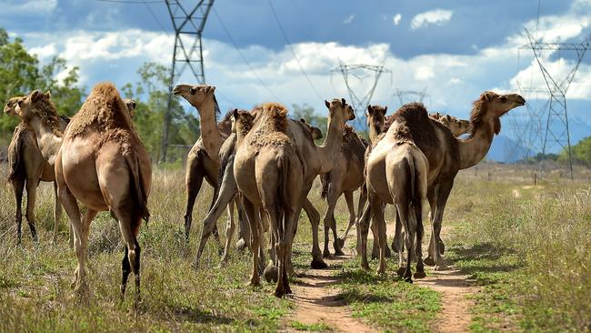 Camels on a farm in Majors Creek in NSW.