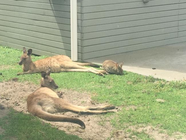 Rabbits chill with kangaroos at Lake Conjola. Picture: Kate Schneider