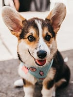 Ruby the Pembroke Corgi. Photo Morgan Tiralongo