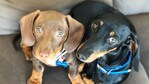 Nardia Janek's cute pair Bangers and Mash. Puppy Power List. RBH