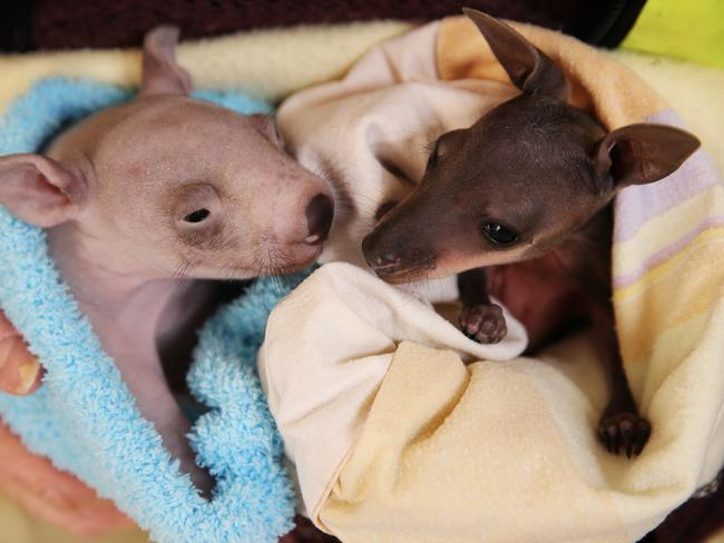 Road kill orphans Kevin the 3-month-old wombat and Sophie the 5-month-old swamp wallaby. Picture: Sam Ruttyn