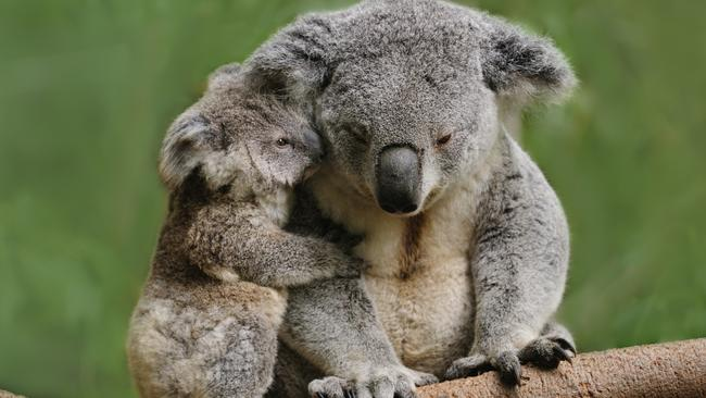 The couple will not be allowed to cuddle a koala. Picture: iStock