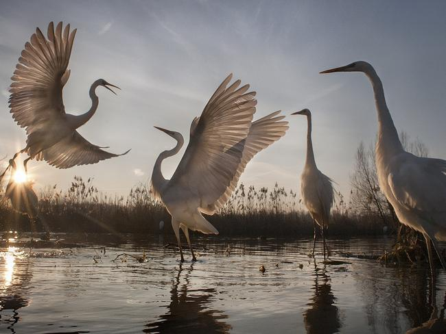 The birds' mating season is said to begin on February 14 in Europe. Picture: Zsolt Kudich/National Geographic