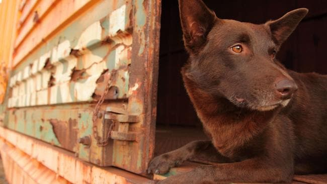 Star attraction ... The late kelpie Koko as Red Dog.
