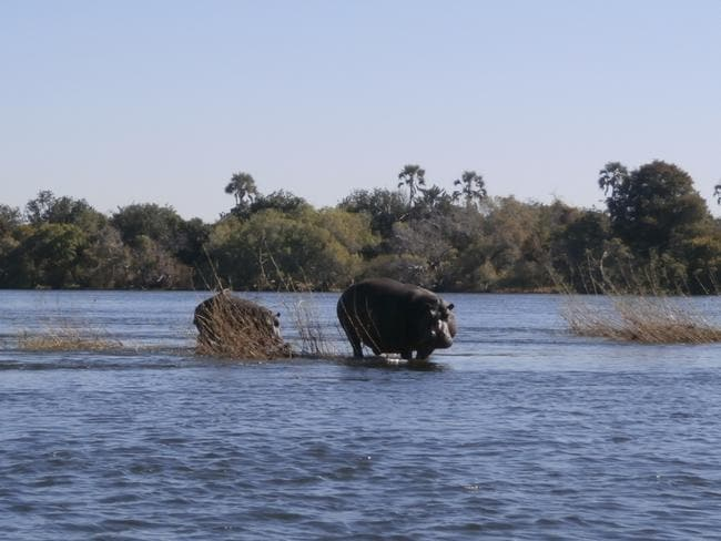Hippos in the Zambesi River. Picture: Supplied.
