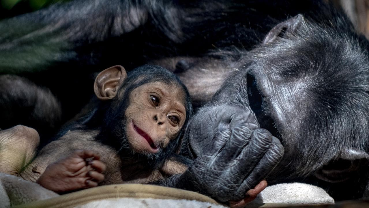 Four-month-old baby chimpanzee, Capri, with mum, Leakey, at Rockhampton Zoo. Picture: supplied