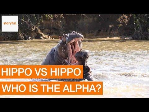 ANIMALS: Aggressive Hippos Battle to Prove Dominance June 2016