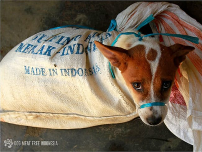 The dog and meat trade in Indonesia.