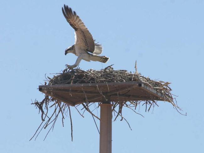 Billions spent on ensuring safety of wildlife ... Osprey lands on one of many Chevron Oil Company's nesting poles on Barrow Island. Picture: Chris Crerar.