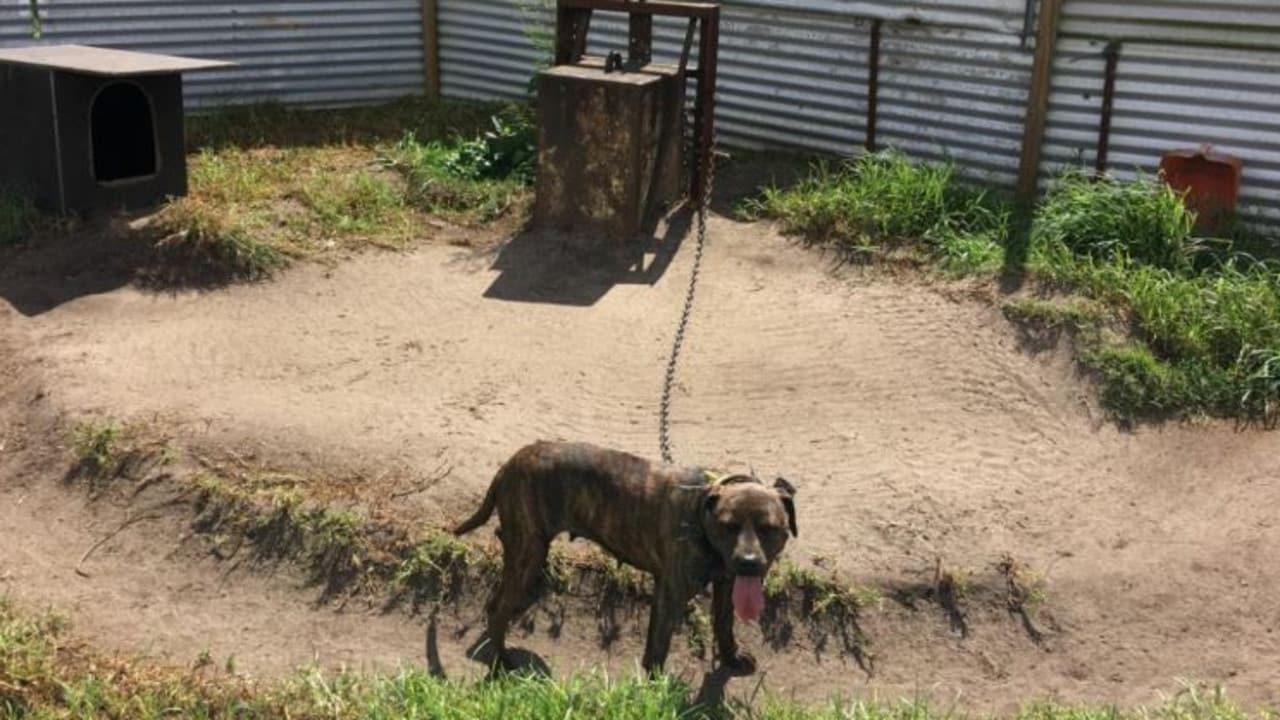 Dog fighting: Jared Nathan Trenear jailed over animal cruelty   The