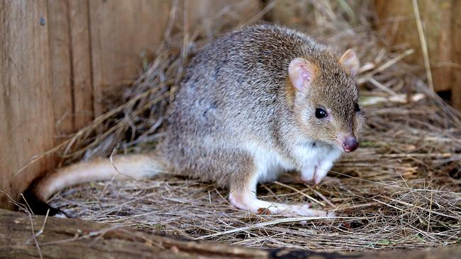 The native bettong is one of the species that have been threatened by feral cats. Picture: SAM ROSEWARNE