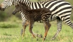 The zebra likely has a genetic mutation which gives it a distinctive coat. Picture: Rahul Sachdev/Caters News