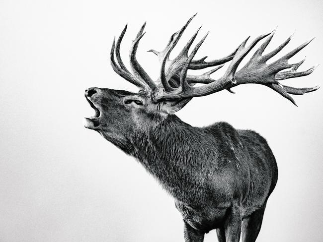 """American photographer Kaleb White travelled to New Zealand's North Island to document the annual breeding season of red deer. White was commissioned to record the essence of stag (males) behaviour during the peak roar. """"Stags are most vocal and have a very distinct roar sound when attracting hinds (females), White says. """"Stags establish dominance during the roar by not only vocalising their superiority but also displaying forms of mature postures and often fighting with competing stags to mate with hinds."""