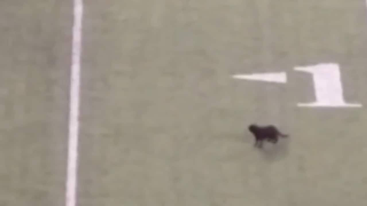 'Go, Go, Go!': Football Fans Cheer for Black Cat Invading NFL Field Mid-Game