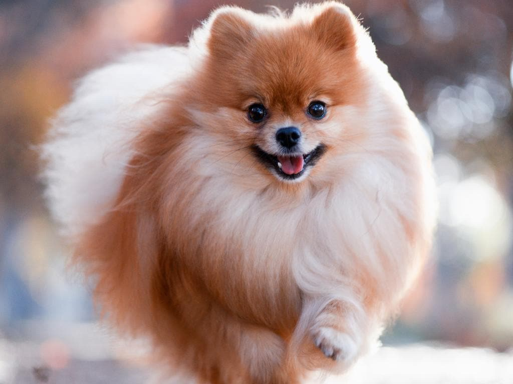 Stock image of a pomeranian dog, the same breed as the pet that returned a positive virus test. Picture: iStock