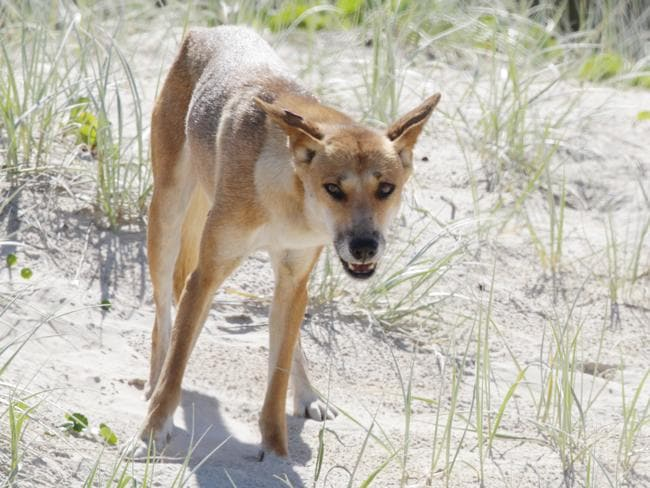 A young boy and a woman were flown to hospital after being attacked by a dingo on Fraser Island. Picture: Lachie Millard