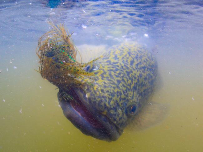 The face of cod: a fat little fish comes to the boat. Picture: Al McGlashan