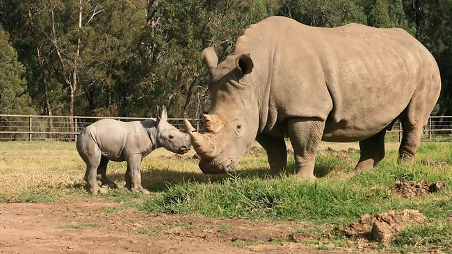 The birth of the male White Rhinoceros calf is a positive step towards the zoo's breeding programme. Picture: AFP