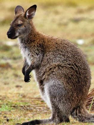 Farmer Anger As Wallaby Plague Hits Rural Areas The Mercury