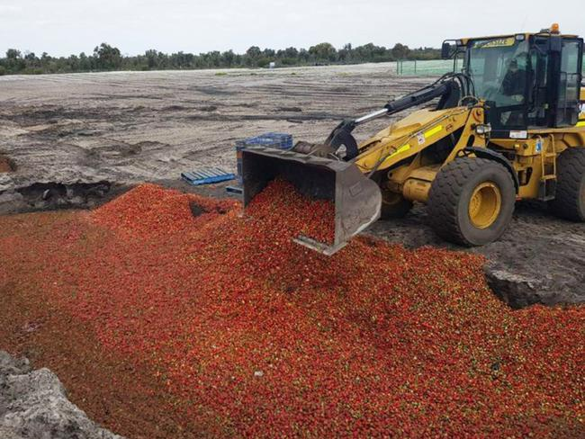 WA strawberries are being dumped. Picture: Jamie Michael