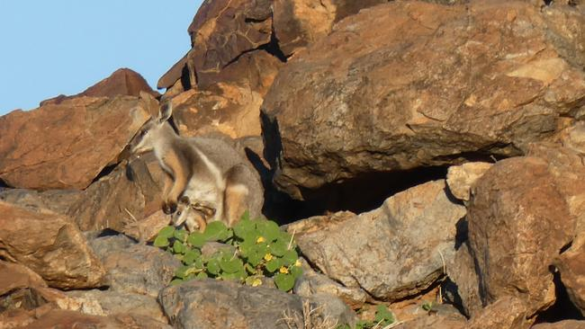 A yellow-footed rock-wallaby with her joey at Boolcoomatta Reserve. Picture: Tony Geyer