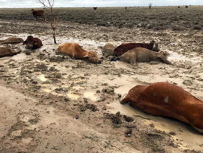 Cattle already weakened from severe drought have died after the devastating Queensland floods. Picture: Anthony Anderson