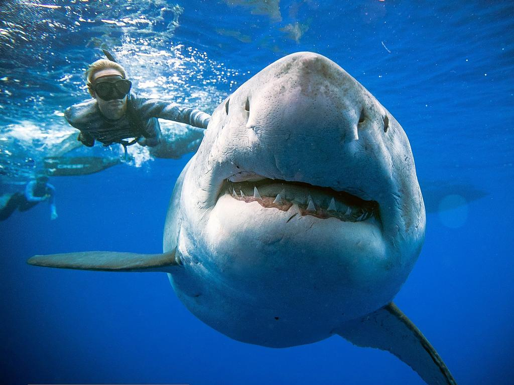 Image result for great white deep blue