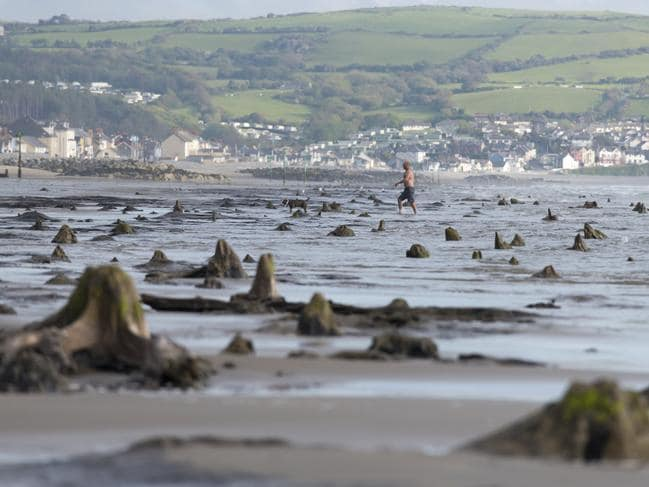 A prehistoric forest, which was buried under water and sand more than 4500 years ago, has been uncovered on the beach between Ynys-las and Borth in mid-Wales. Picture: Matthew Horwood/Getty Images