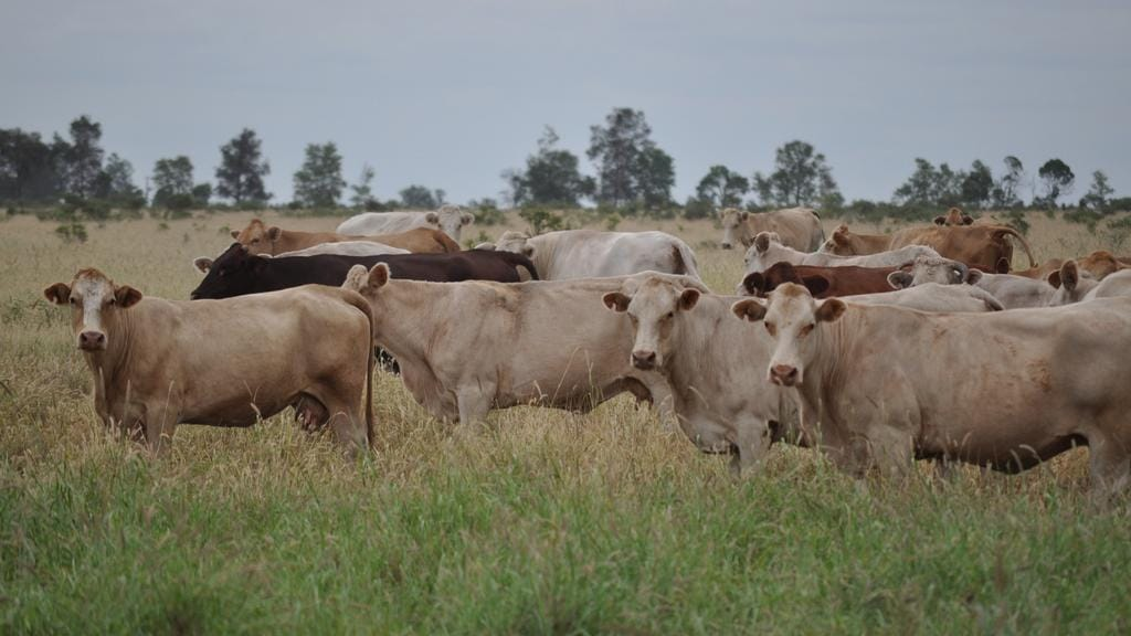 Keeping Tabs On Livestock With New Hi Tech Gadget By Csiro