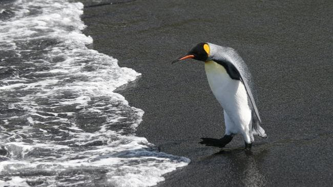 A King Penguin from Possession Island walks towards the water. Picture: AFP / CNRS/IPEV/CSM/Celine Le Bohec