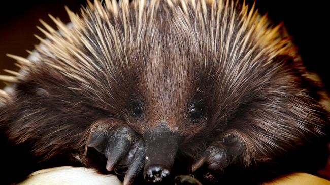 A young echidna after being found in a Melbourne swimming pool. Picture: supplied