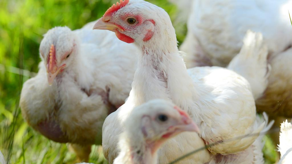 Foodborne Disease Crisis Being Driven By Bad Eggs Chicken Meat